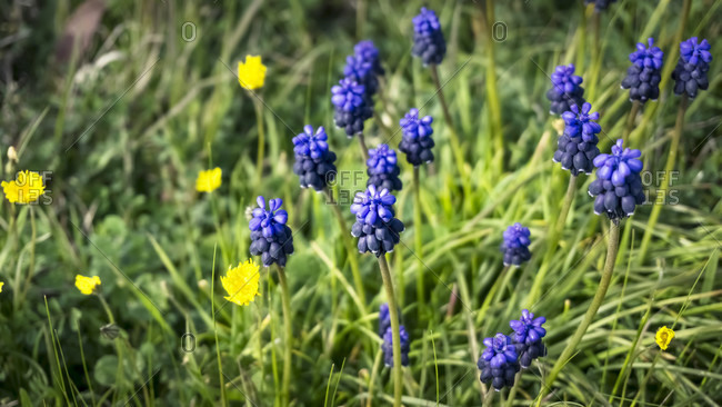 Wild grape hyacinth near azille.