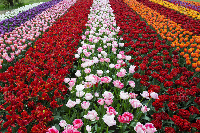 Colorful tulip fields around Lisse