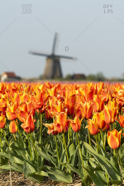 Colorful tulip fields and windmills