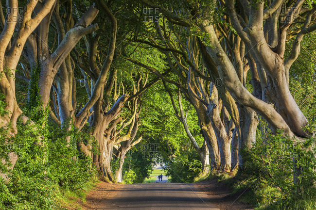 The Dark Hedges, country road surrounded by beech trees