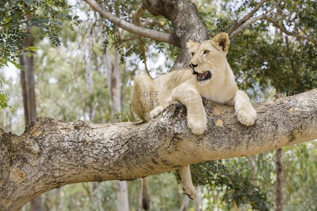 Black River district, a lion cub in Casela Nature Park