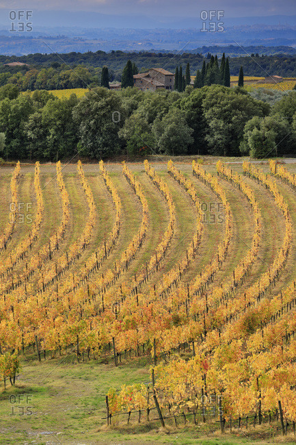 Italy - November 6, 2018: Autumn colored vineyards in the surroundings of San Gusme village