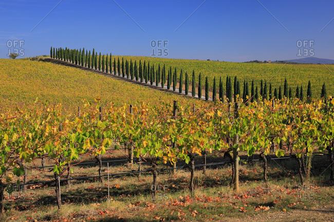 Italy - October 24, 2018: Autumn colored vineyards near San Gusme village