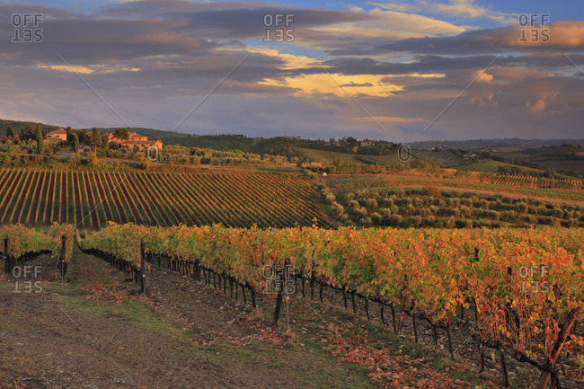 Italy - October 28, 2018: Autumn colored vineyards at Rocca delle Macie locality