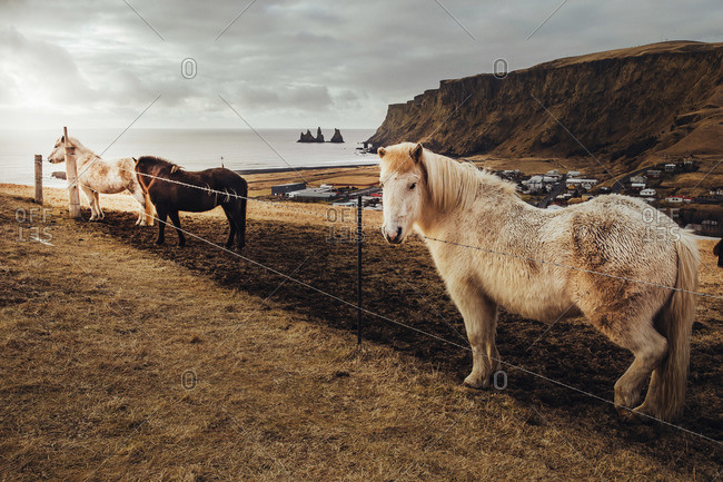 Typical Iceland ponies on the top of a hill in Vik I Myrdal at sunset
