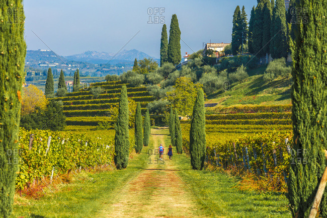 Italy - October 23, 2018: Typical landscape, treelined path between the vineyards