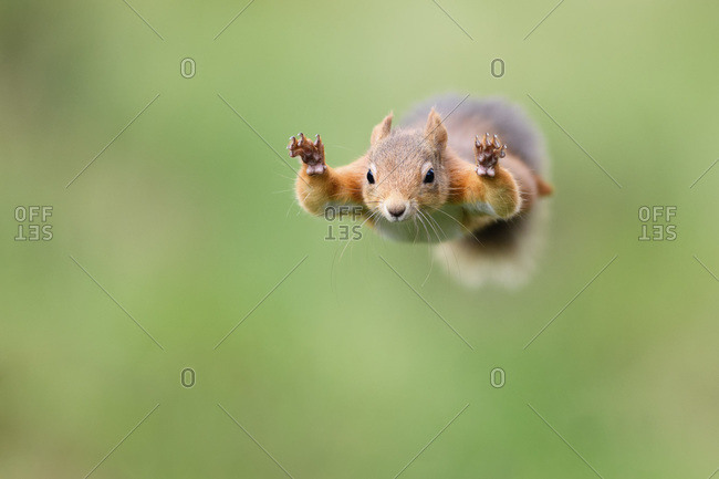 Red squirrel jumping from tree
