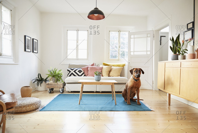 Rhodesian ridgeback sitting in bright modern living room