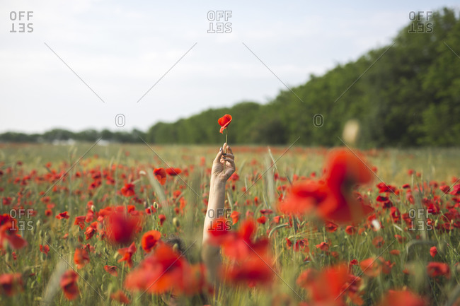Woman sitting while holding flower in poppy field