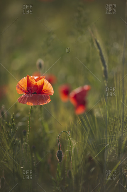 Poppy flower blossoming in agricultural field