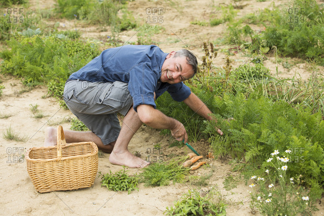 Mature man harvesting organic carrot from farm