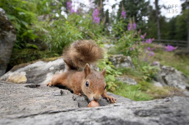 Portrait of Eurasian red squirrel (Sciurus vulgaris) lying on stone surface