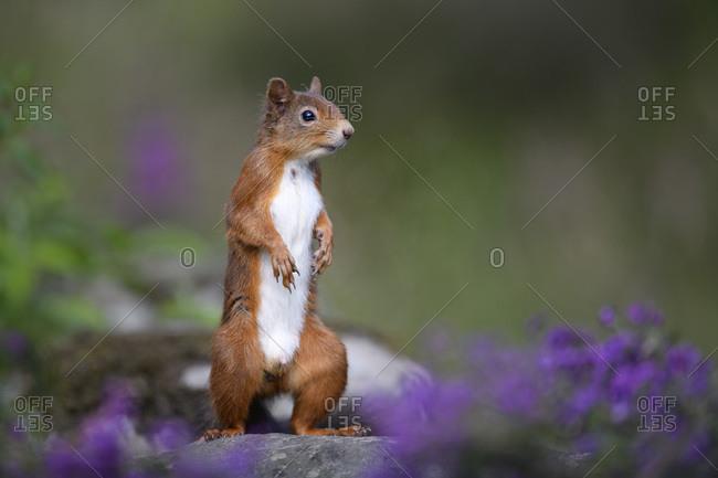 Portrait of Eurasian red squirrel(Sciurusvulgaris)standing outdoors