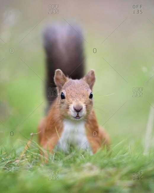 Portrait of Eurasian red squirrel (Sciurus vulgaris) looking at camera