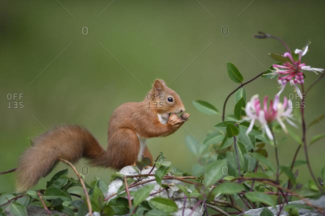Portrait of Eurasian red squirrel (Sciurus vulgaris) feeding on nut