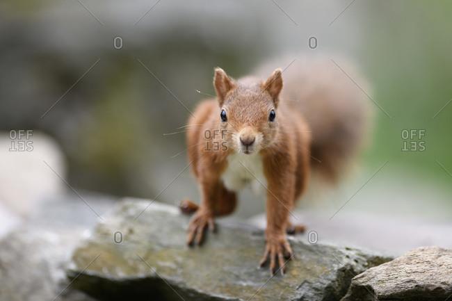 Portrait of Eurasian red squirrel(Sciurusvulgaris)looking curiously at camera