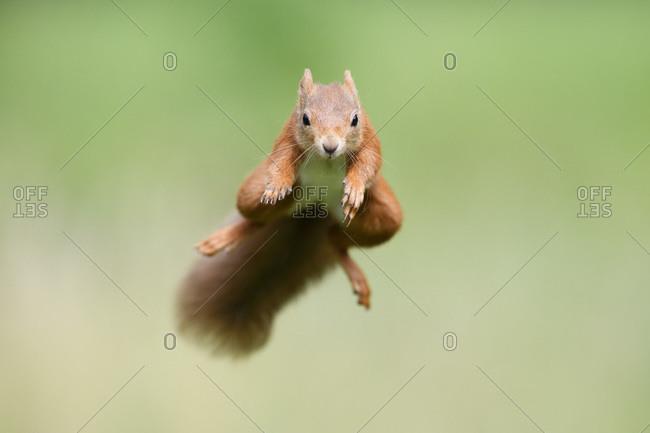 Portrait of Eurasian red squirrel (Sciurus vulgaris) jumping toward camera