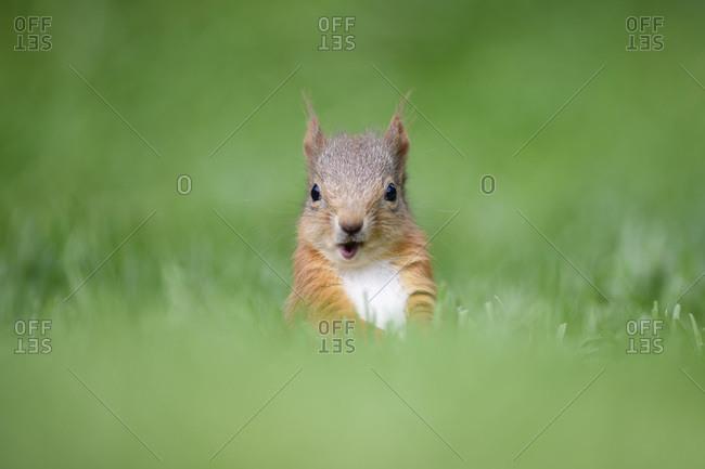 Portrait of Eurasian red squirrel (Sciurus vulgaris)sitting in grass