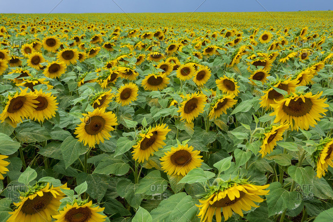 Sunflowers blooming in agricultural field at Wurzburg