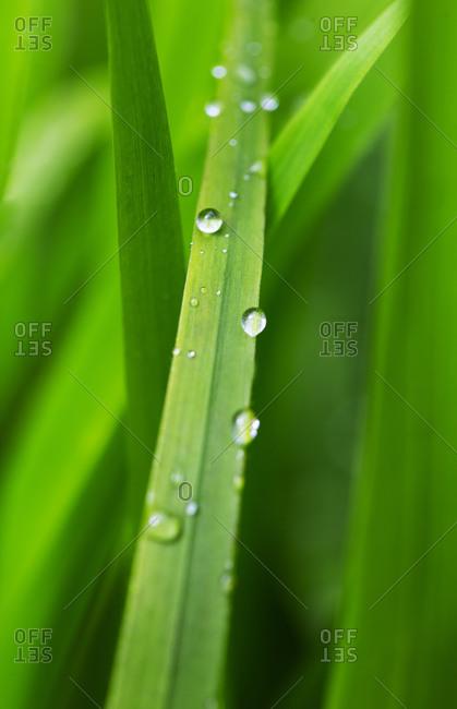 Raindrops on greenliliumleaf