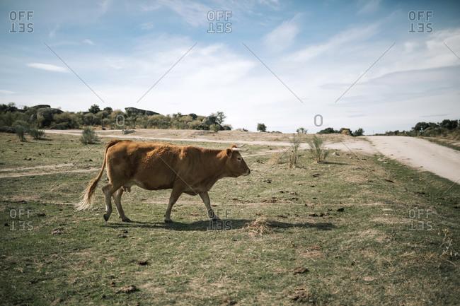 Cow walking through the field in Spain