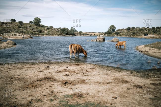 Cows drinking water in a beautiful landscape of Los Barruecos in Spain