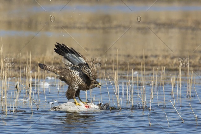 Common buzzard attacking its catch in shallow water in winter in Israel