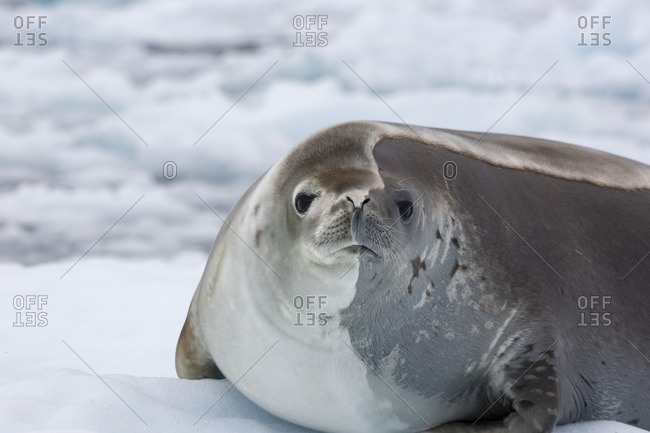 Crabeater seal (Lobodon carcinophaga) on an iceberg in Antarctica. Crabeater seals are the most common large mammal on the planet after humans, with an estimated population of 15 million. They are a true Antarctic species, living on or around sea ice. As the sea ice retreats they are at real risk from climate change. Their main diet is krill, numbers of which have reduced by over 50 per cent.