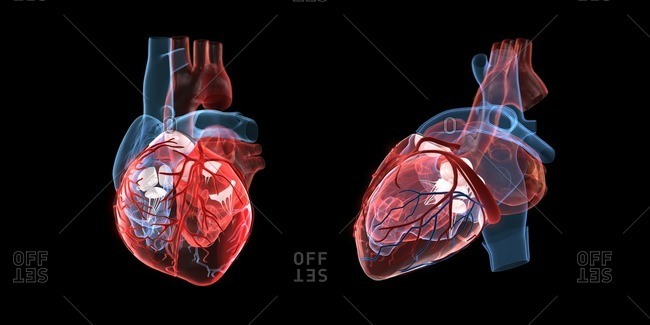 Anatomy of a human heart, front and side view, 3d illustration.
