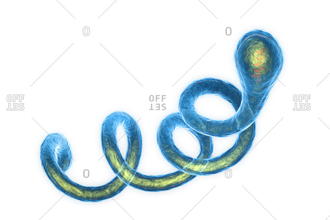 Illustration of Spirochaete Borrelia bacteria, the cause of Lyme disease. These spirochaete (spiral-shaped) bacteria are passed to humans through the bites of infected Ixodes sp. ticks. Symptoms of Lyme disease include skin lesions, muscle pain, neurological and cardiac abnormalities, and arthritis. Treatments include antibiotic and corticosteroid drugs.