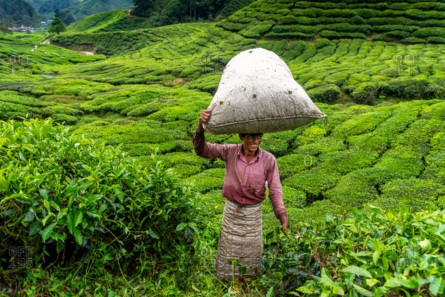 March 28, 2018: A worker with a sack on his head full of tea leaves. Cameron Highlands, Malaysia