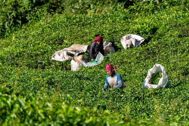 March 29, 2018: Group of workers picking up tea leaves in a tea plantation. Cameron Highlands, Malaysia