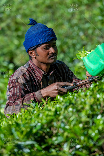 March 29, 2018: A worker picking up tea leaves in a tea plantation. Cameron Highlands, Malaysia