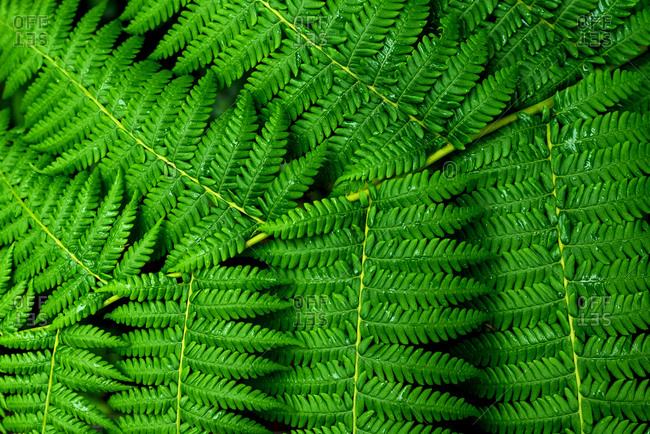 Fresh green fern leaves, close up