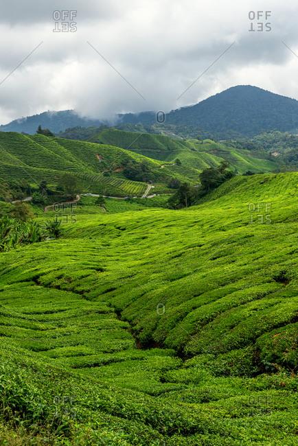 Views of tea plantation in Cameron highlands, Malaysia