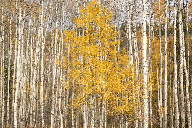 Yellow fall leaves in an aspen tree grove in the Chilcotin Region of British Columbia, Canada