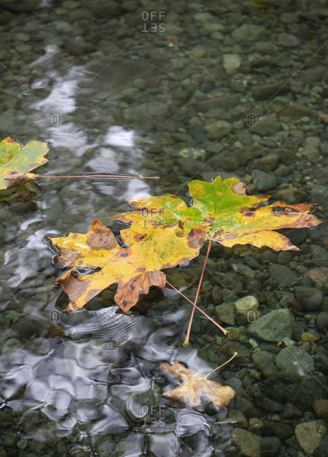 Colorful fall leaves in a stream, Victoria, Vancouver Island, British Columbia, Canada