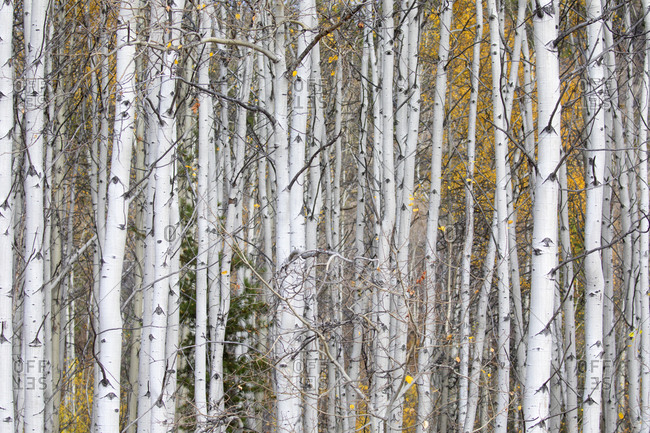Fall colors of an aspen tree grove in the Chilcotin Region of British Columbia, Canada