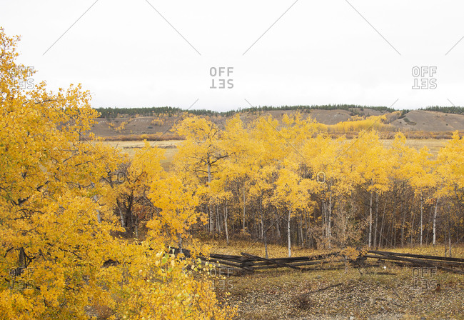 Bird's eye view over fall colors in an aspen tree grove in the Chilcotin Region of British Columbia, Canada