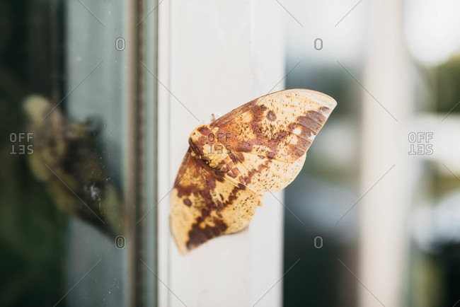 An Imperial Moth outside of a window
