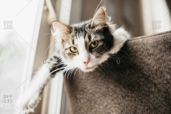 Cat looking over edge of sofa by window