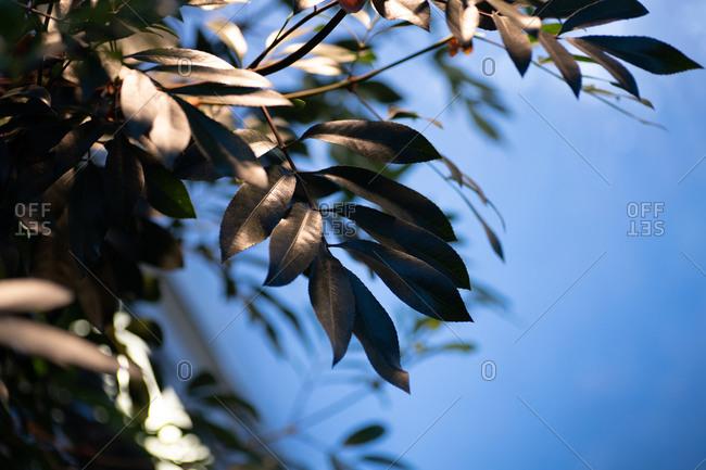 Dark green leaves on a tree under blue sky