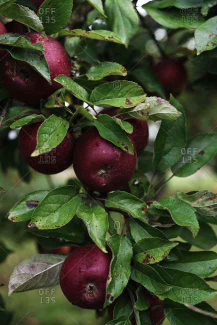 Close up of red apples on tree