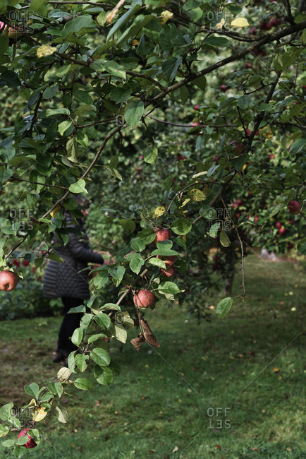 Person picking red apples in an orchard