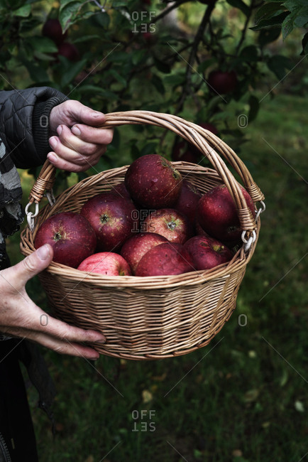 Person holding a basket of freshly picked red apples in an orchard