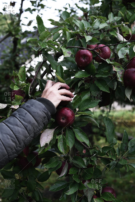 Person picking red apples from a tree