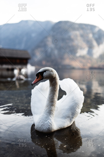 Beautiful lonely white swan swimming on water surface of peaceful lake with wooden pier against rocky mountain ridge