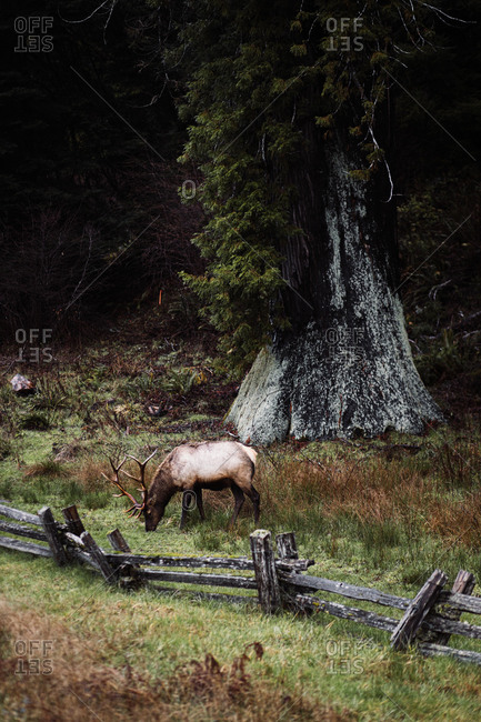 High angle of wild deer with huge antlers pasturing on meadow in woods on cloudy day