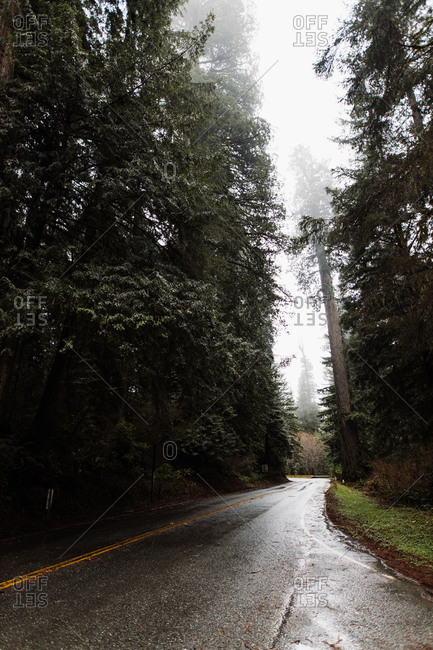 Narrow wet asphalt road in woods with tall coniferous trees on misty day