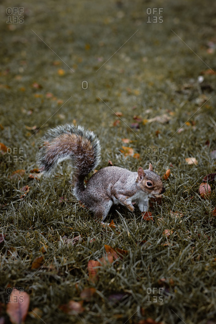 Adorable little squirrel with gray fur sitting on meadow in autumn forest in Scottish Highlands